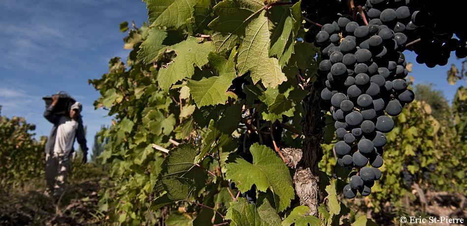 Diego Cazon récolte le raisin Malbec, célèbre cépage français, aujourd'hui intimement lié au terroir argentin. Petite production de raisins équitables de Vina de la Solidaridad en Argentine. © Éric St-Pierre